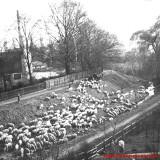 Schafe weiden am Perkwall.